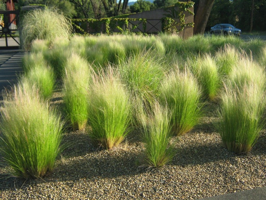 Nassella tenuissima mexican feather grass planting for Ornamental feather grass