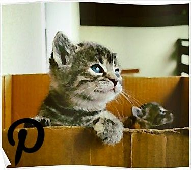 Adorable tabby cat kittens looking out of a box  very cute Poster Adorable tabby cat kittens looking out of a box  very cute Poster