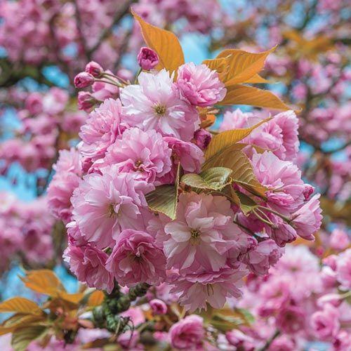 Kwanzan Cherry Tree Michigan Bulb Company Flowering Cherry Tree Kwanzan Cherry Blossom Trees