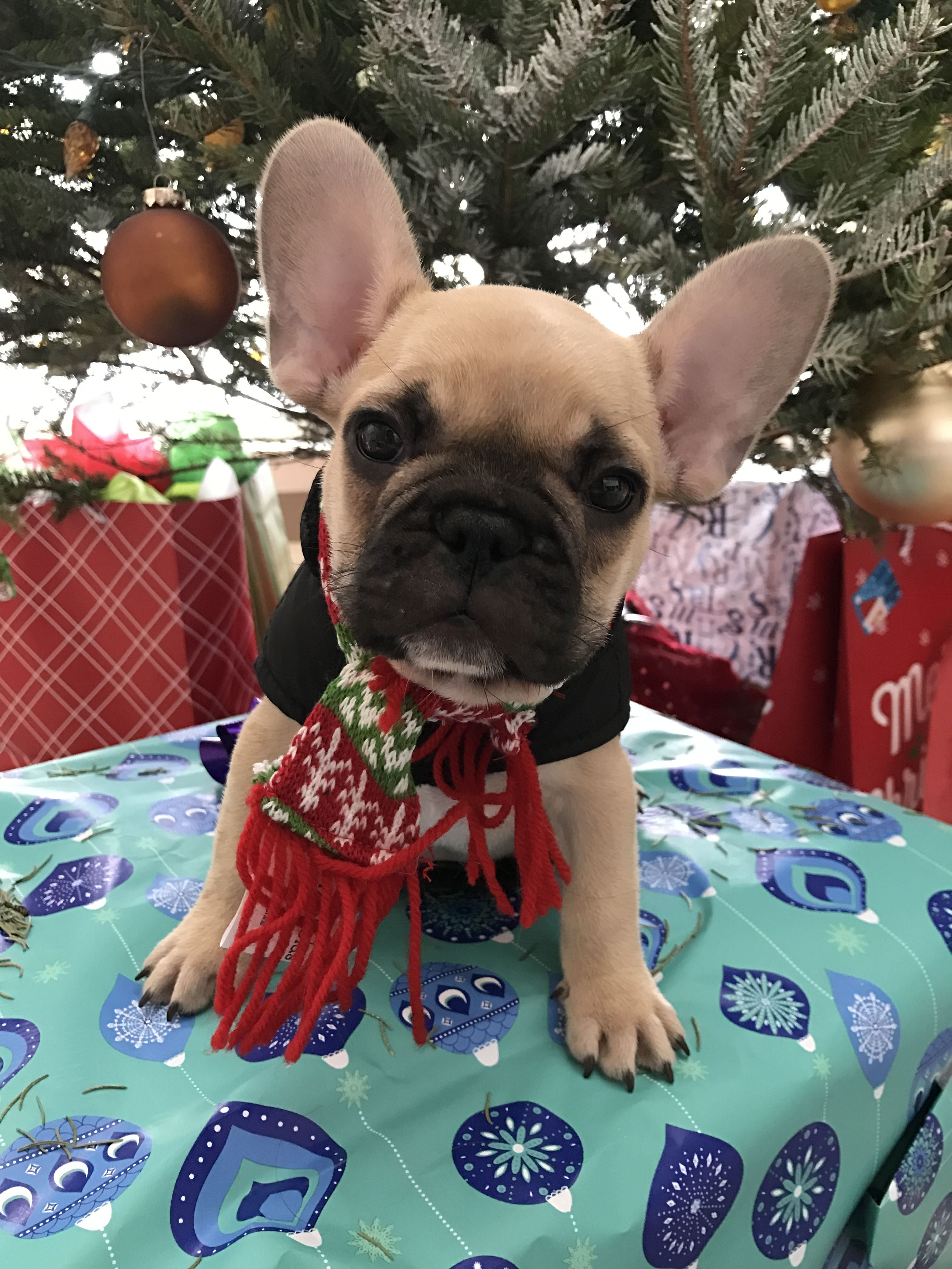Gizmo A French Bulldog Puppy At Christmas Cute French