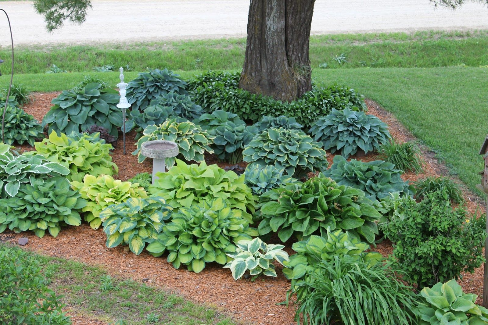 Garden bed with trees  hostas under my pine tree  Google Search  Gardens and Landscapes