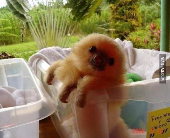 Little baby sloth in a bucket...Adorable!