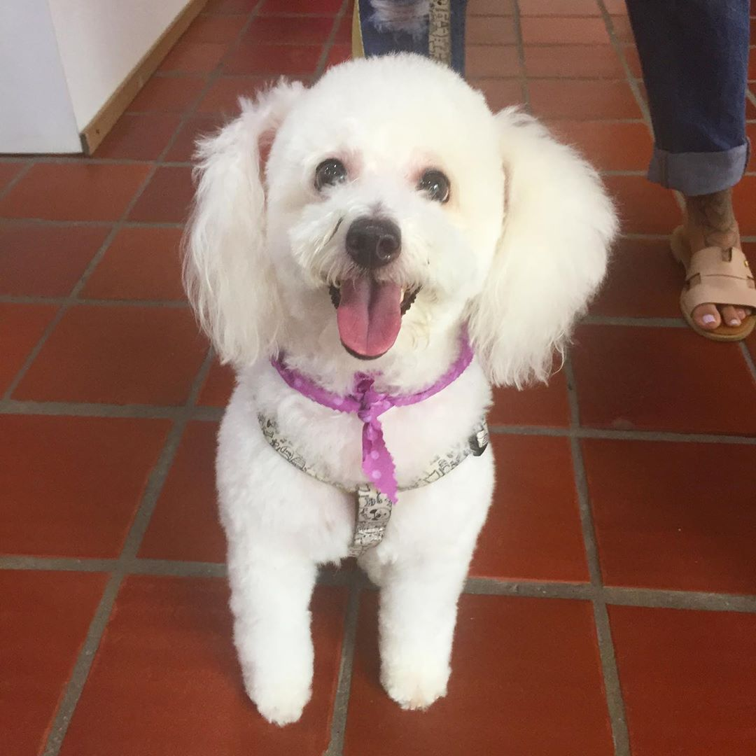 MAIA  linda por siempre #amorporellos #dogs #insdog #mipeludo #poodle #poodlelove #amorperruno #...