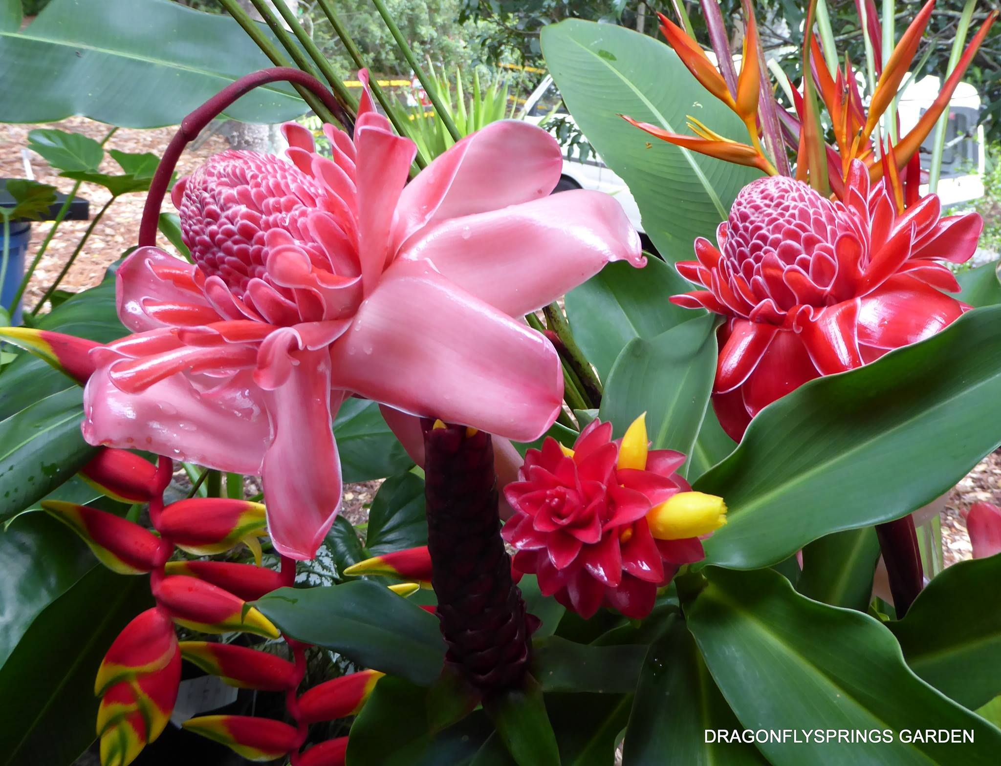 Https Www Facebook Com Dragonflysprings Photos Pb 553955818054396 2207520000 1463983424 900030653446909 Type 3 With Images Torch Ginger Plants Photo