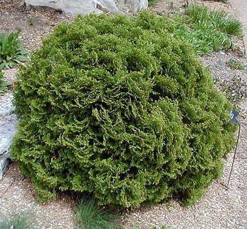 "Hetz Midget Arborvitae - Thuja - Evergreen - Very Dwarf - 4"""" pot"