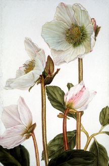 botanical painting - Google Search