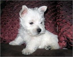 Westie Rescue Google Search With Images Baby Dogs Westies West Highland Terrier