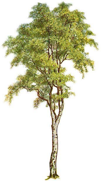 Tree Clipart Trembling Aspen With A Thin Trunk Png 871 1024 Arbustos Arvores E Arbustos Desenho De Plantas