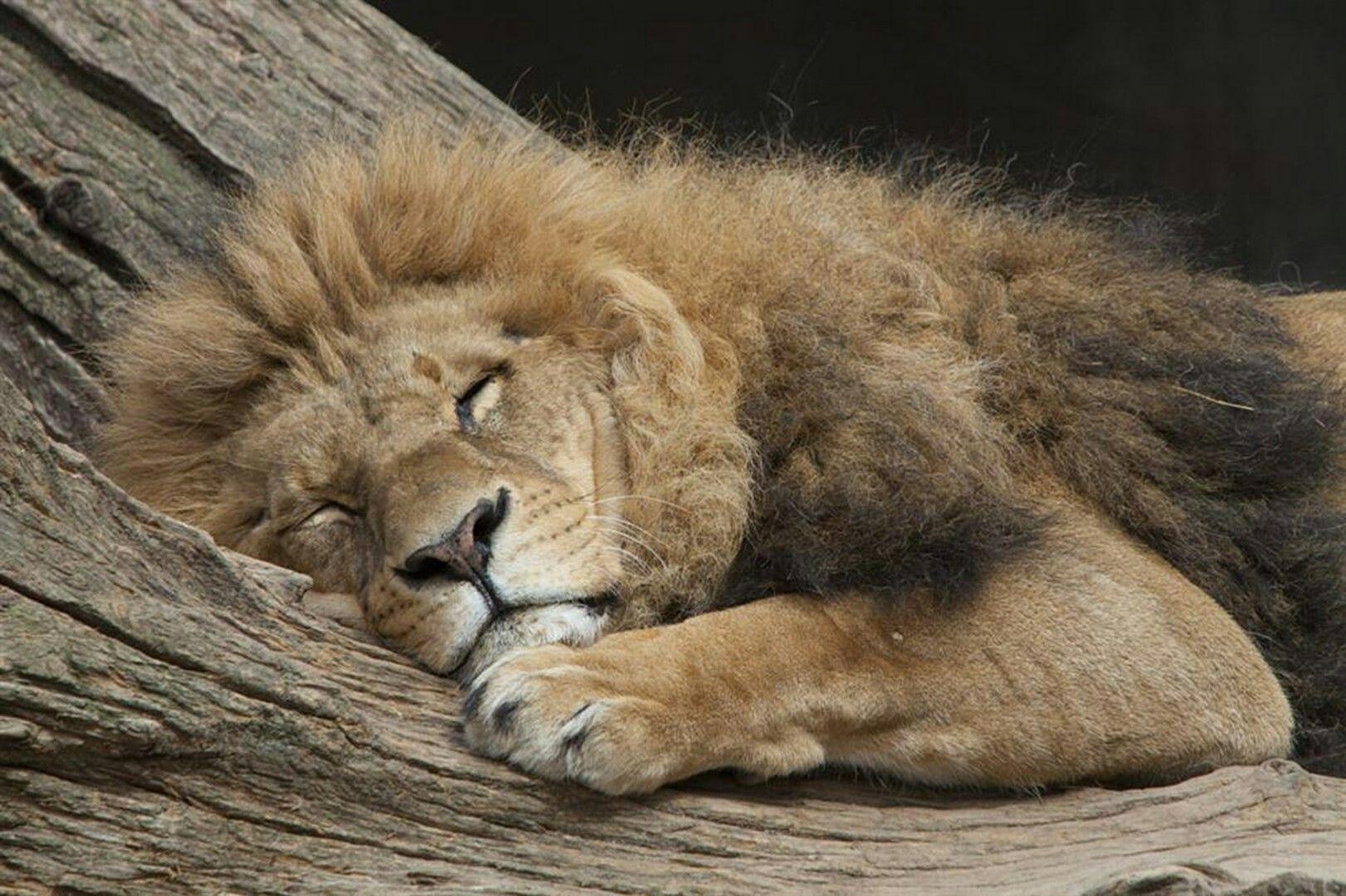 Lion Sleeping With Images Sleeping Animals Sleeping Lion Lion
