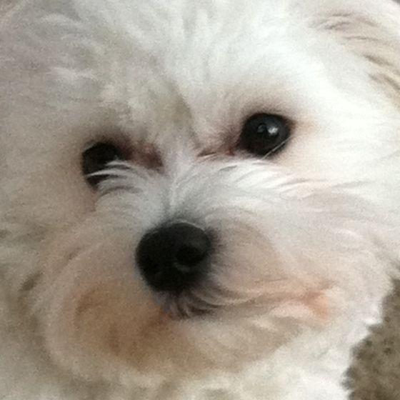 Vinnerboy Aka Vinny Our Maltese Maltese Dogs I Love Dogs