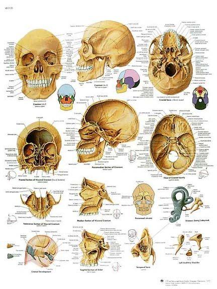 El cráneo humano | ANATOMY. | Pinterest | Cráneo humano, El craneo y ...