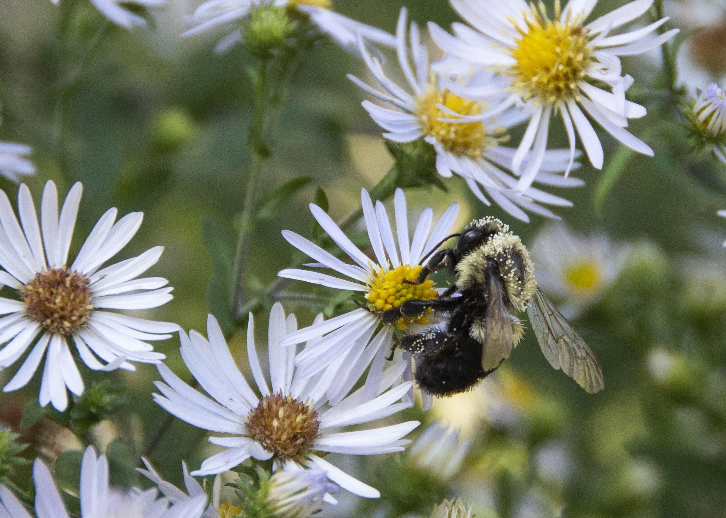 Crooked Stem Aster Aster Prenanthoides Attracts Bumble Bees And Other Small Pollinators Asters Are So Beautiful And Native Plants Clay Soil Lavender Flowers