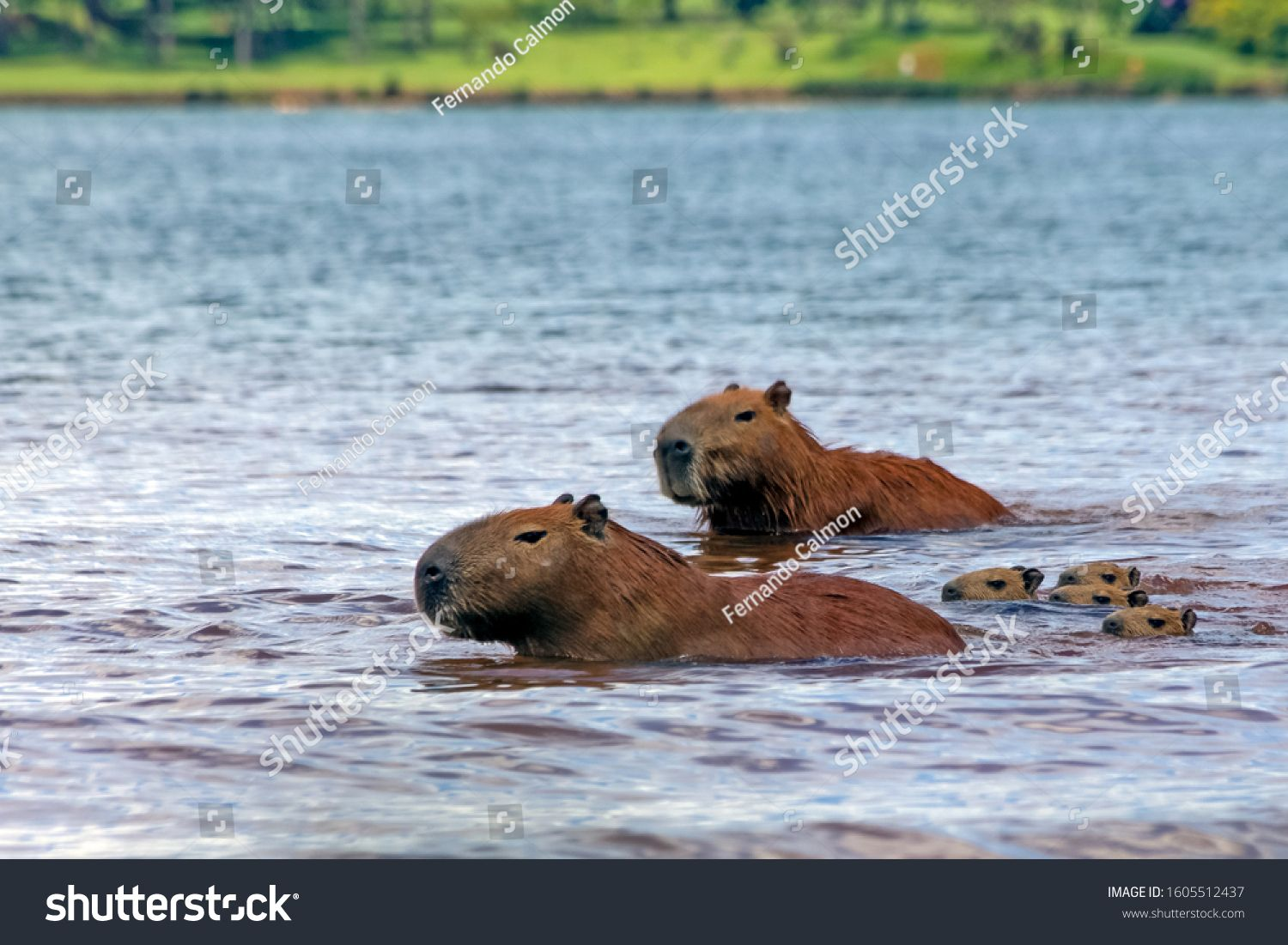 Capybaras pups follow their parents inside Lake Parano¨¢ in Brasilia, Brazil. The capybara is the largest rodent in the world. Species Hydrochoerus hydrochaeris. Wildlife. Cerrado. #Ad , #Ad, #Parano#Lake#Brazil#Brasilia