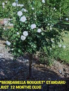 topiary rose bush - Bing images
