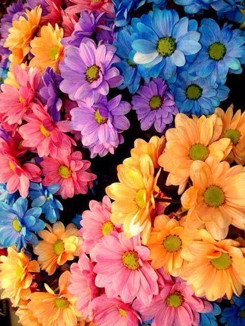 Margaritas de muchos colores! | Flores de amor, Flores bonitas, Papel pintado flores
