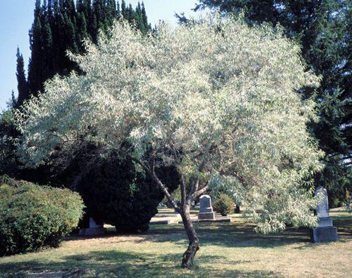russian olive el agnus angustifolia mediterranean look