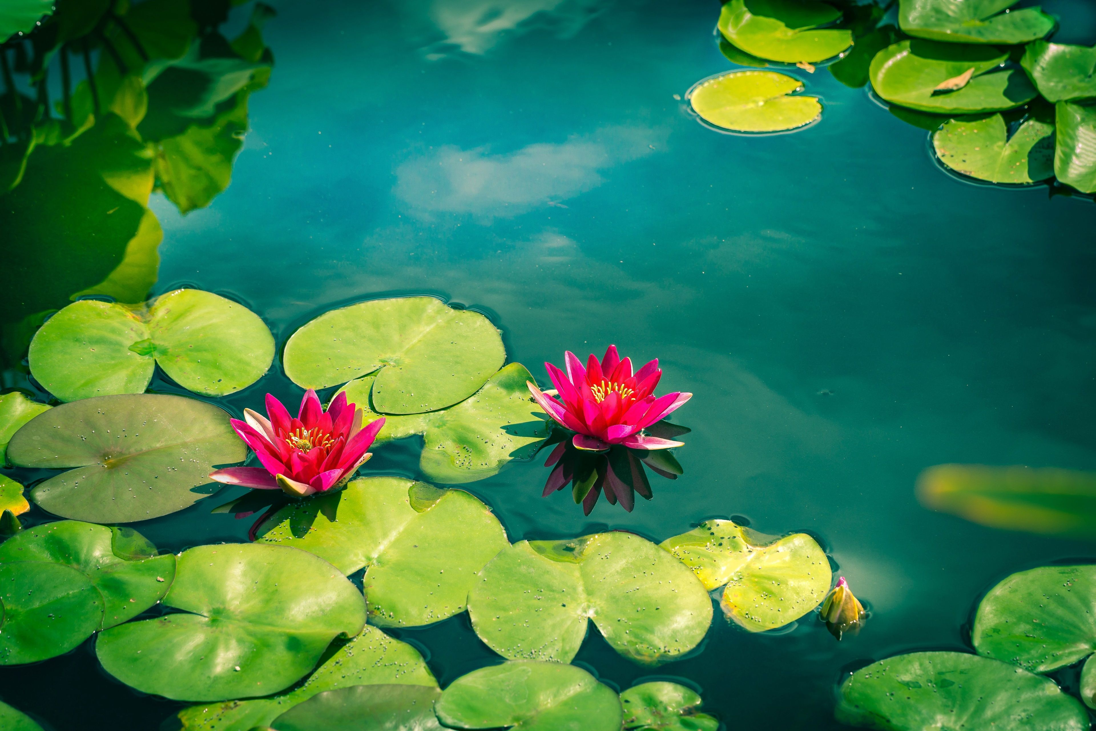3840x2560 Pink Water Lilies 4k Hd Wallpaper Background Lily