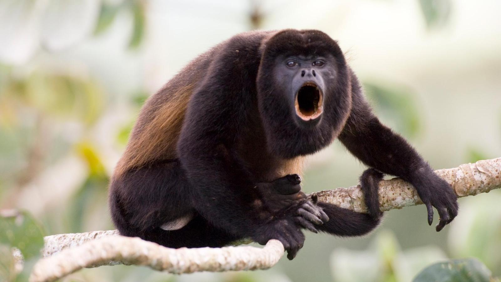 Pin En Mono Negro Aullador
