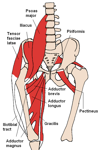 Diagram detailing the front view of lower spine, pelvis, and thighs ...