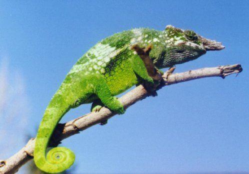 Fischers chameleon bradypodion fischeri chameleon pinterest fischers chameleon bradypodion fischeri thecheapjerseys Choice Image