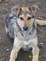 Adopt Kali on German shepherd dogs, Shepherd dog