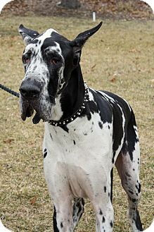 Leo Is A 4 Yr Old Great Dane Male Available For Adoption In Toledo