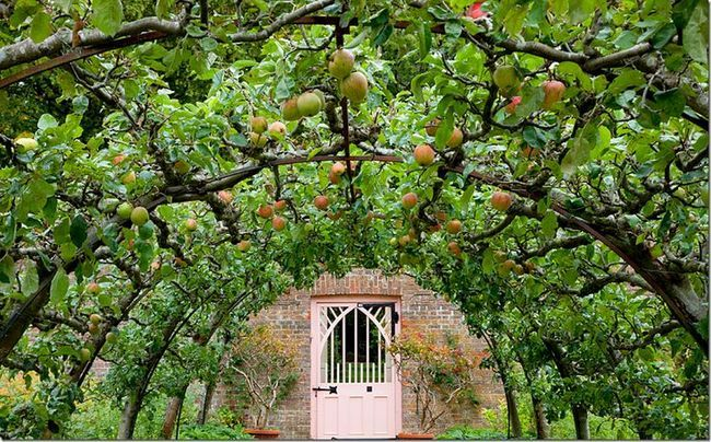 Espalier apple tree arch at Highgrove