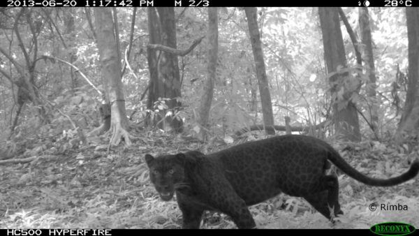 Camera trap image of a black panther in the jungle.