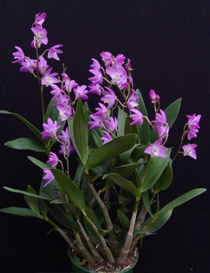 Dendrobium Kingianum Purple Presented By Orchids Limited Orchids Plants Purple
