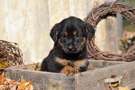 German Shepherd Dog Rottweiler Mix Puppy For Sale In Fredericksburg Oh Adn 51746 On Puppyfinder Com Ge Rottweiler Mix Rottweiler Mix Puppies Puppies For Sale