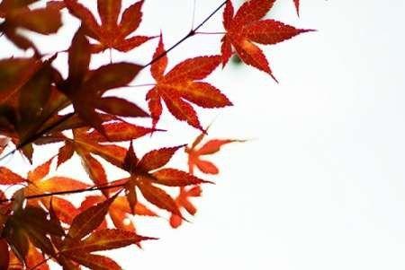 Japanese Maple I