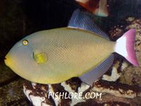 Pink Tail Triggerfish Fish Tank Breeds Tailed