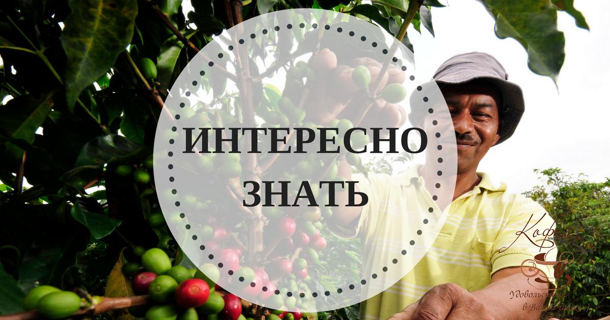 В тех странах, где растет кофе, его до сих пор собирают ...