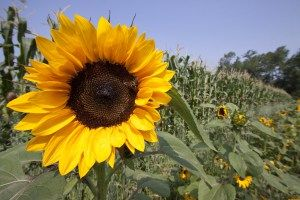 sunflower.tif