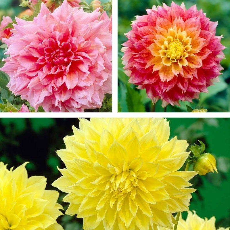 Brilliant Burst Dinner Plate Dahlia Collection Growing Dahlias Dahlia Bulb Flowers