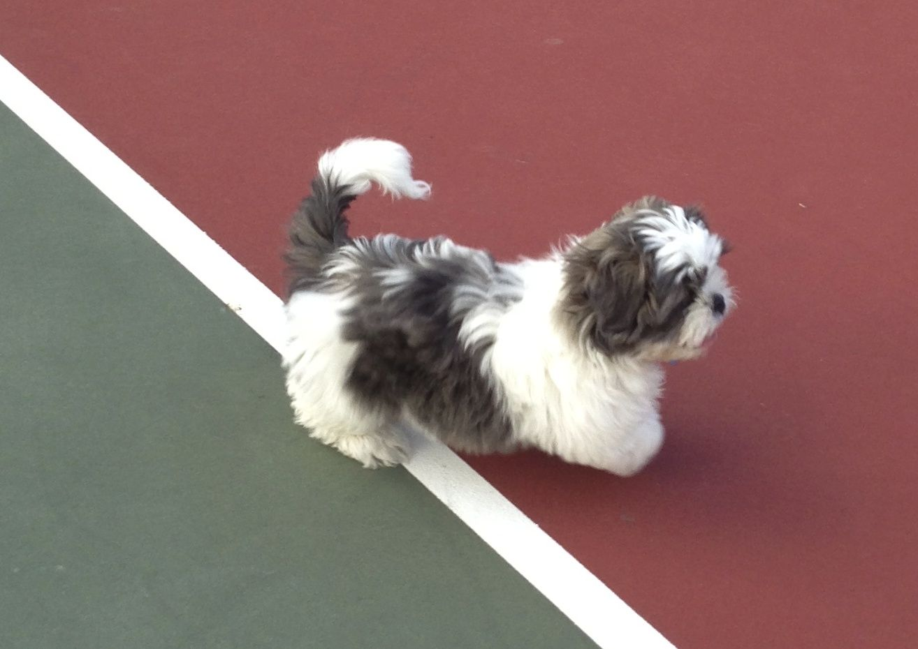 Sparky on the tennis court