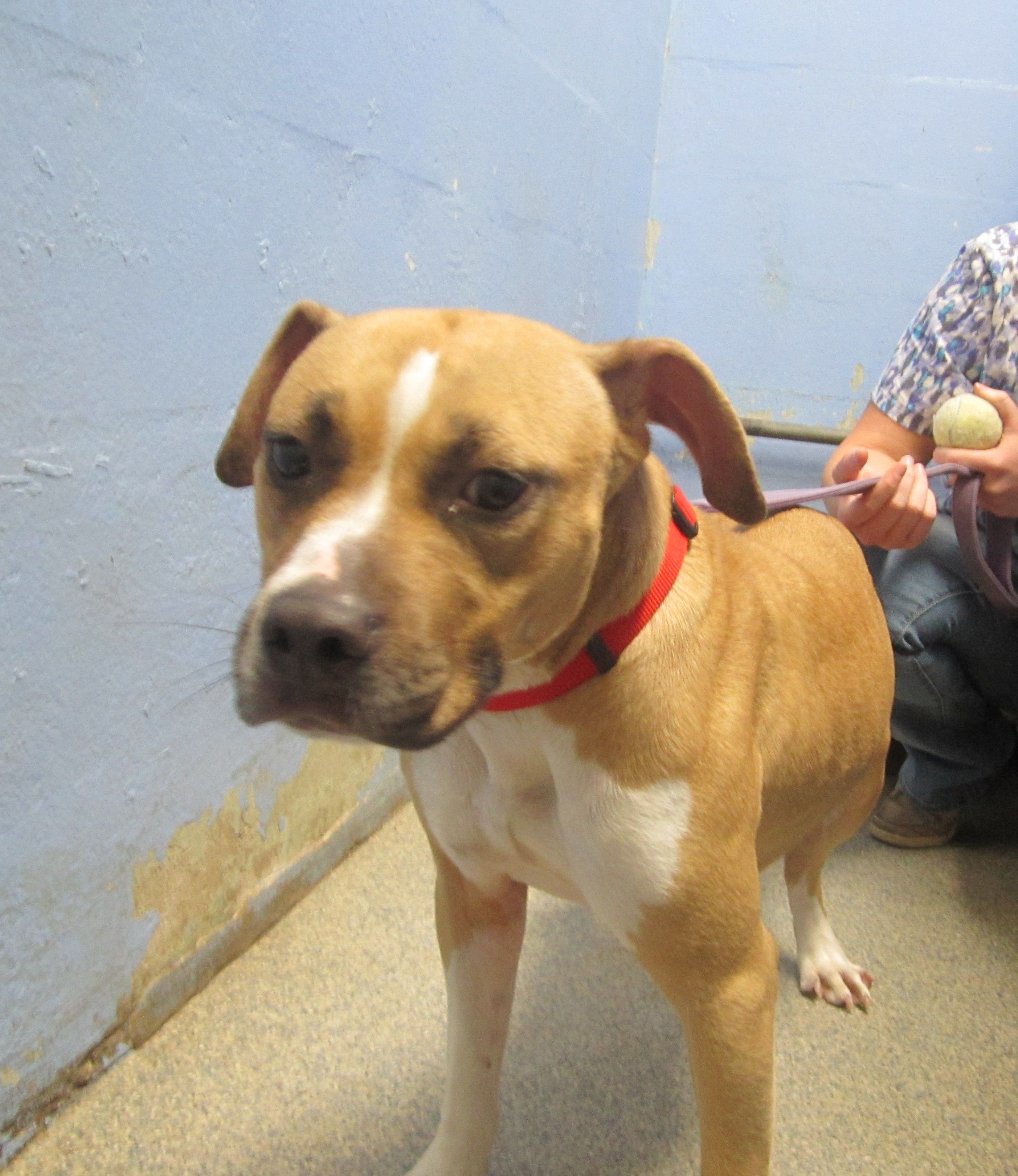 Bullboxer Pit Dog For Adoption In Cocoa Fl Adn 526225 On