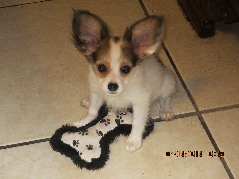 Information On Our Papillons For Sale Papillon Puppy Papillon Dog Papillon Dog Puppy