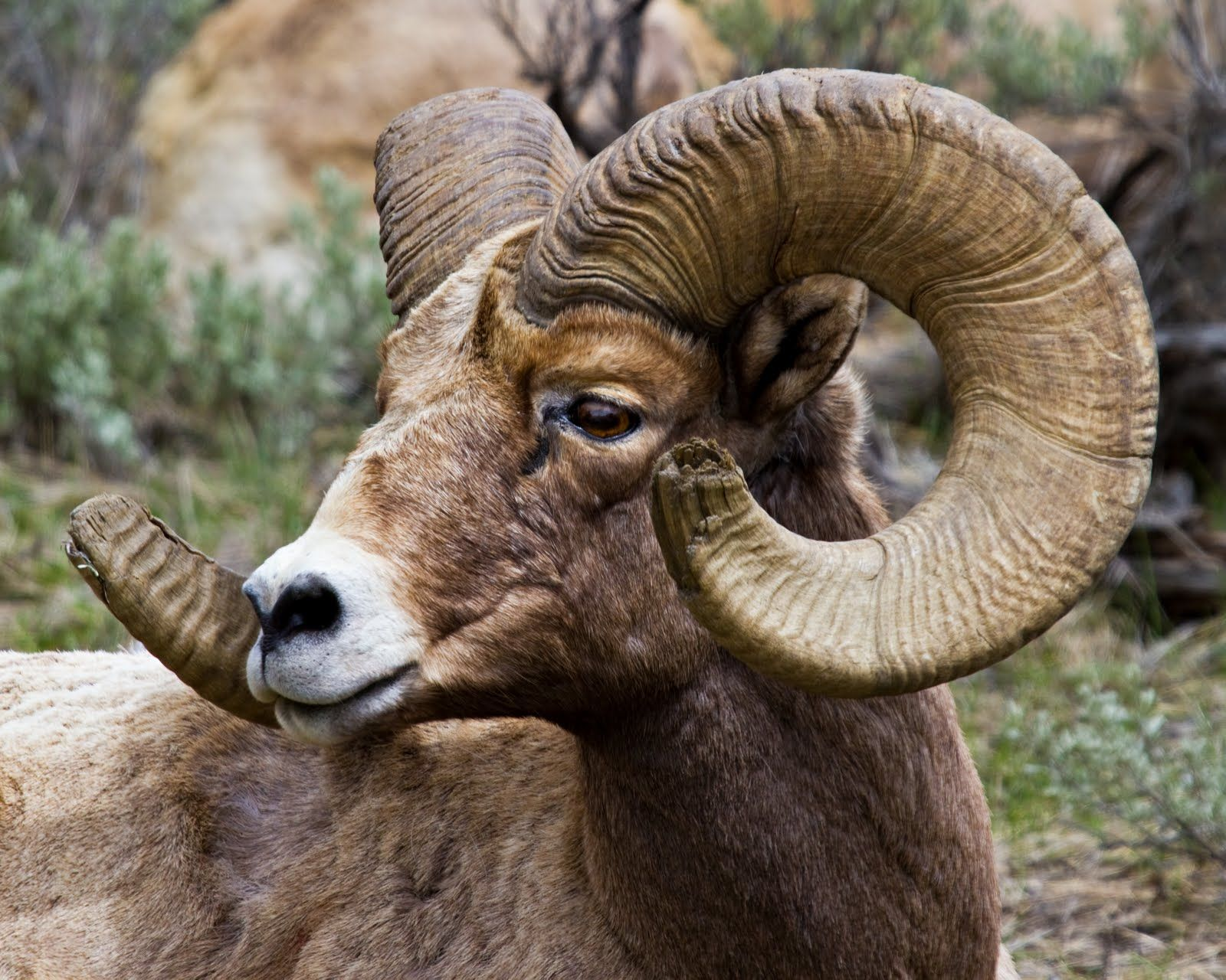 goat skulls with eyes - Google Search | animal anatomy | Pinterest