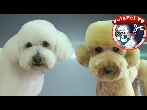 Grooming Guide Toy Poodle Pet Or Salon Trim Pro Groomer Youtube Dog Grooming Poodle Dogs