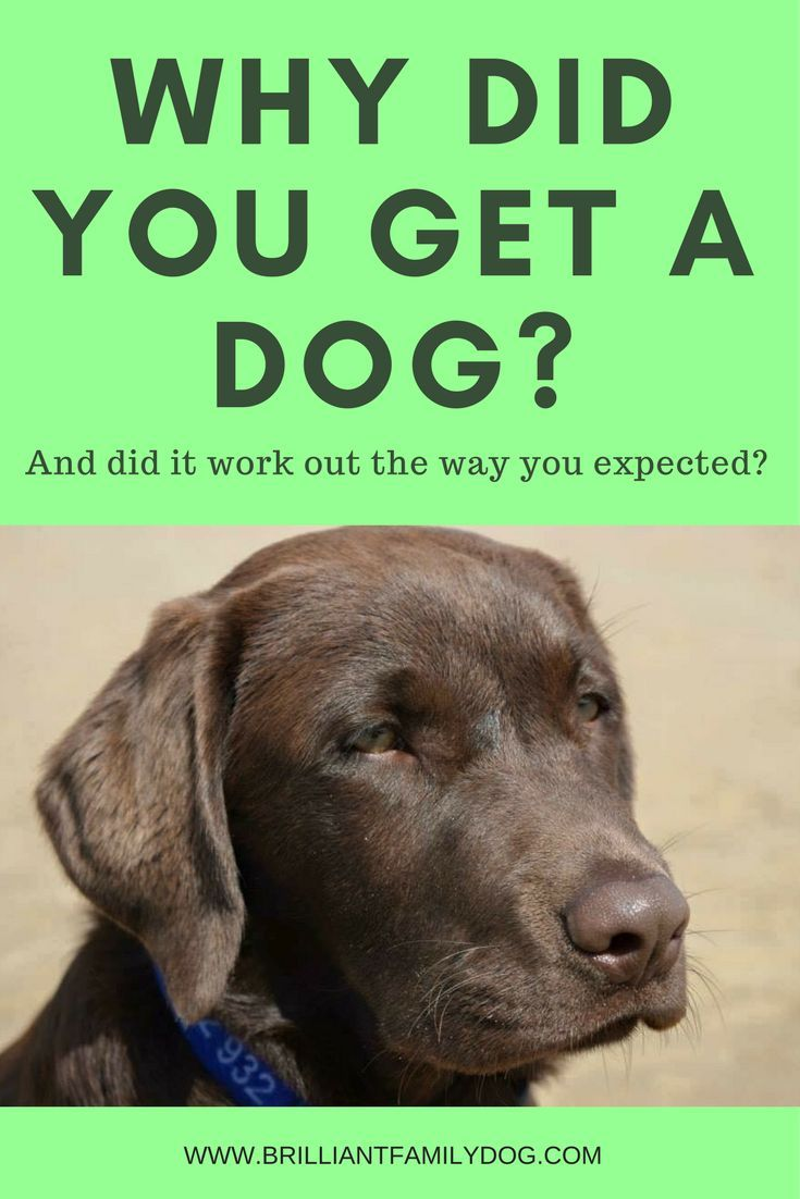 Why Did You Get A Dog Reactive Dog Aggressive Dog Dog Training