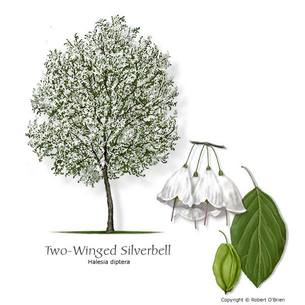 Two winged silverbell snowdrop tree south texas native flowering two winged silverbell snowdrop tree south texas native flowering tree snowdrop tree two winged silverbell mightylinksfo