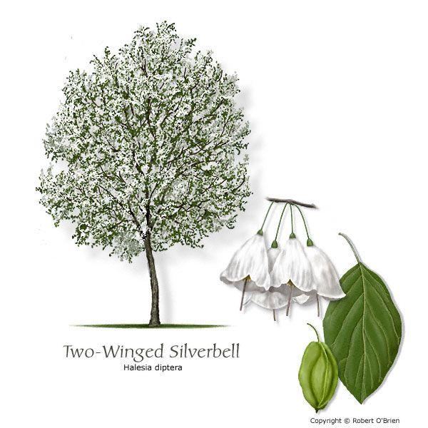 Halesia monticola. var. vestita. The Snowdrop Tree.   The Blooming ...