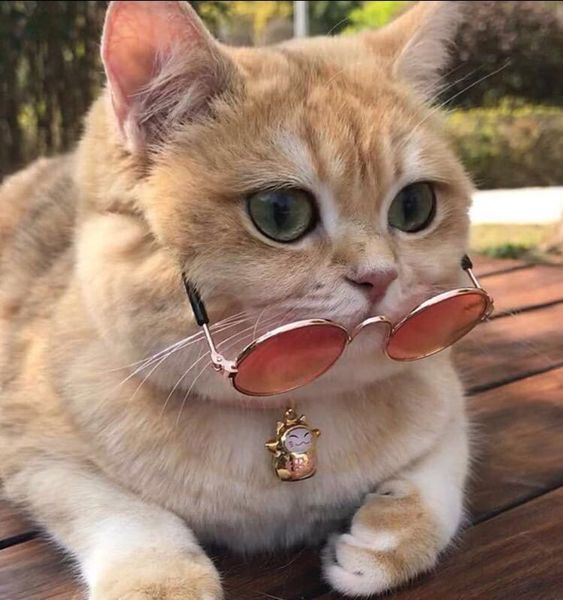 Cat Dog Wearing Sunglasses Cats Animals Pets