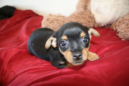 Litter Of 4 Chorkie Puppies For Sale In San Antonio Tx Adn 28734