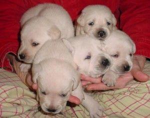 Training Lab Puppies Lab Puppies Puppies Mans Best Friend