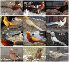 gold pheasant colors