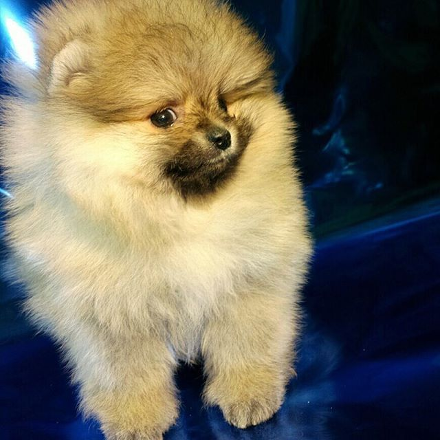 Pomeranian Puppies For Sale Get Pics And Price On Https Spitzpomeranian Co Uk Pomeranian Puppy For Sale Pomeranian Dog Dog Personality