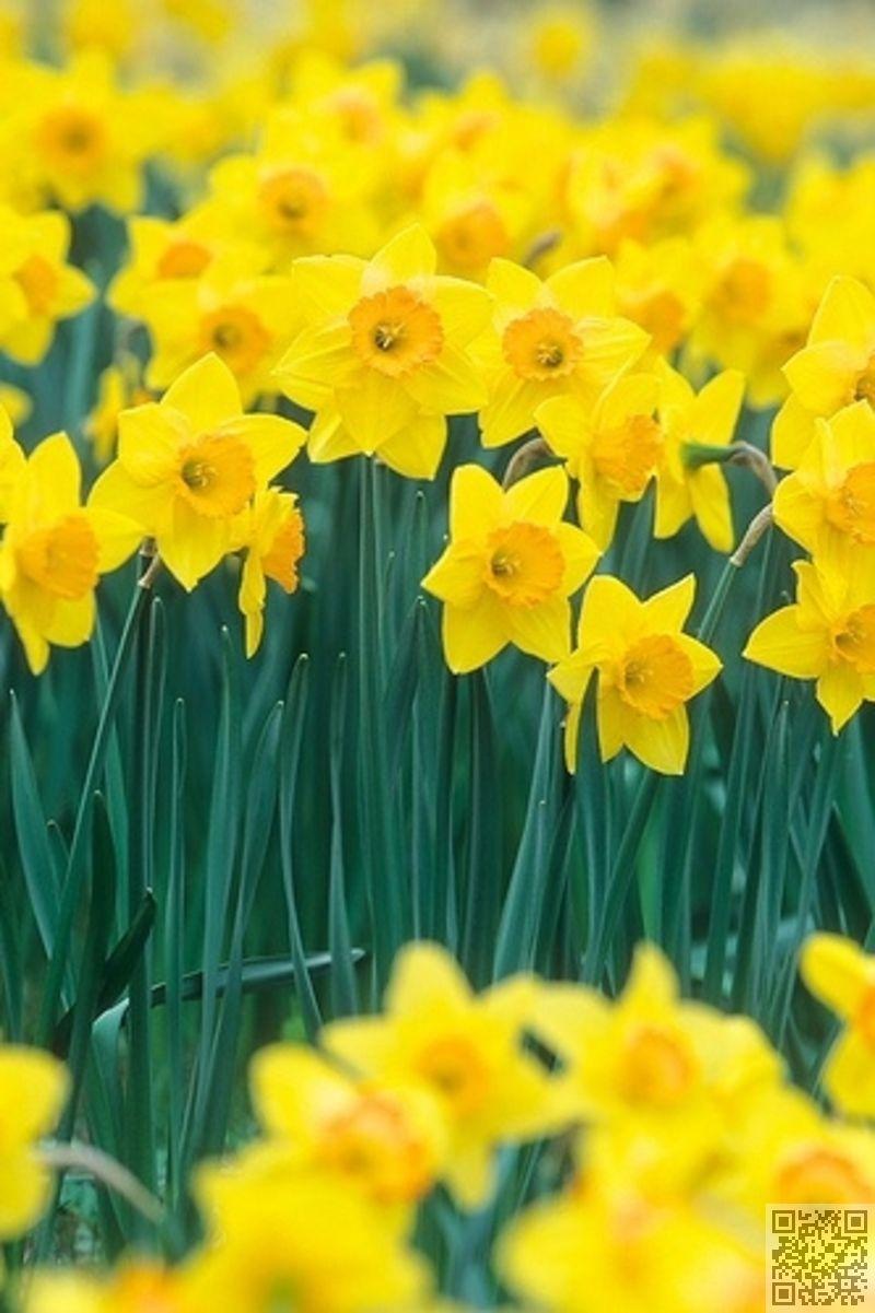 3 mars jonquille janvier d cembre 12 mois de fleurs de spring pinterest. Black Bedroom Furniture Sets. Home Design Ideas