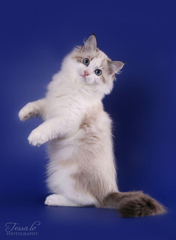 (no title)   Красивые кошки, Котята, Сибирские кошки